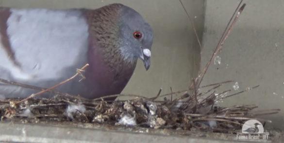documentário pombo doméstico
